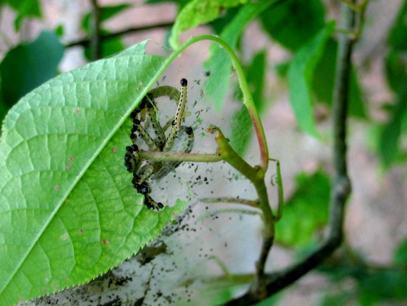 [Photo of larvae chewing on a leaf of a bird cherry tree.]